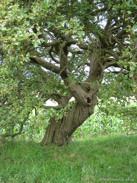 Centuries old hawthorn