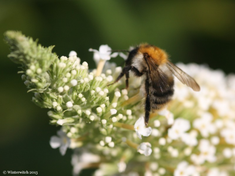 Macro shot of bee in buddleia bush