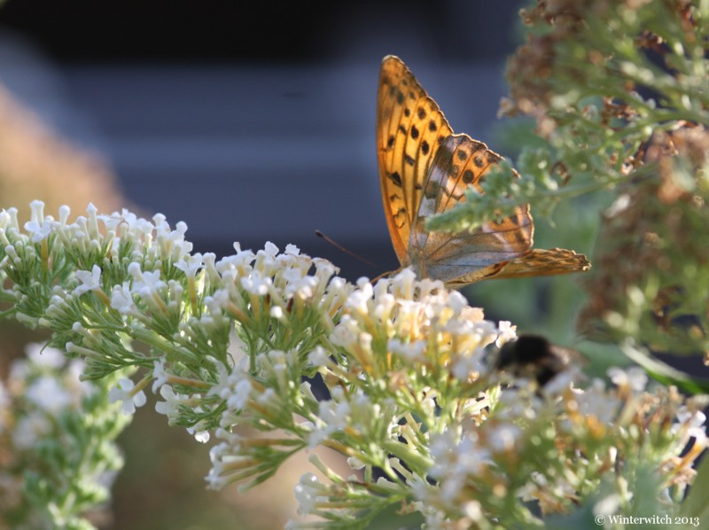 Macro shot of butterfly in buddleia bush